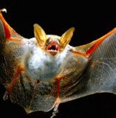 Dal WWF la webcam che spia i pipistrelli