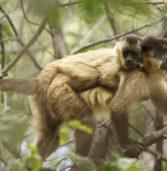 Le scimmie tramandano le conoscenze tecnologiche