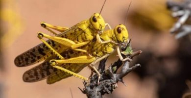 Le locuste in Africa avanzano ancora anche grazie al COVID-19